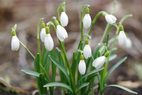 луковичные, дача, галантус, весна, белый цвет, май, нежность, первоцветы, подснежники, растения, природа, флора, цветы