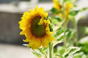 солнечный, цветок
