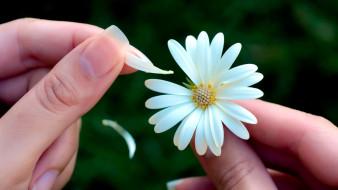цветок, лепестки, гадание