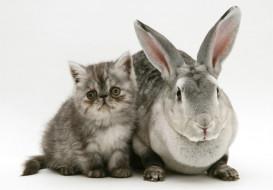 серые, котенок, кролик