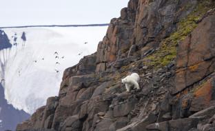 медведь, белый, полярный, горы, скалы, птицы, мох