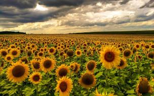 подсолнухи, цветы, Закат, поле, флора