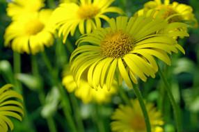 природа, растения, красота, флора, цветы, позитив, жёлтый цвет, нежность, макро, май, ромашки