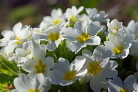 макро, нежность, белоснежность, флора, примула, растения, первоцветы, цветы, красота, дача, природа, пробуждение, апрель, белый цвет, весна