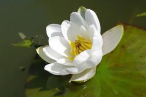 цветы, лилии водяные,  нимфеи,  кувшинки, растения, пруд, природа, позитив, лето, кувшинка, красота, вода, белый, цвет, флора, цветок