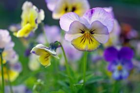 ассоциации, виола, дача, двулетники, июнь, цветы, природа, макро, многолетники, растения, лето, красота, фиалки, флора, анютины глазки
