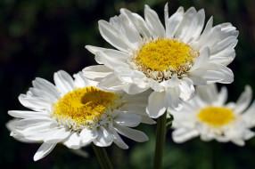 лето, цветы, растения, ромашки, дача, красота, флора, природа, белоснежность, белый цвет, макро, нежность, позитив