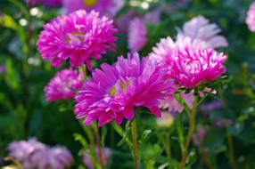 цветы, флора, сентябрь, розовый цвет, растения, природа, осень, однолетники, красота, дача, астры