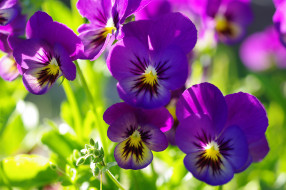 двулетники, макро, лето, красота, июнь, цветы, флора, фиолетовый цвет, фиалки, растения, природа, многолетники, дача, виола, анютины глазки
