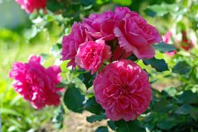 цветы, розы, дача, июль, красота, лето, природа, растения, розовый, цвет, флора, цветение