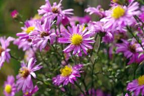 сиреневый цвет, цветы, флора, осень, октябрь, дача, растения, природа, астра многолетняя