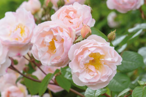 цветы, розы, красота, бутоны