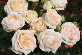 цветы, розы, бутоны, красота