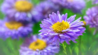 дача, осень, природа, красота, макро, цветы, флора, астра кустовая, астры, розовый цвет, многолетники, октябрь, растения
