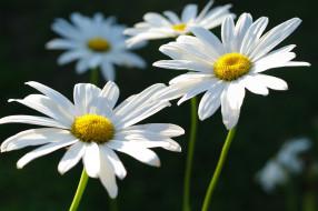 дача, красота, цветы, флора, ромашки, природа, позитив, нежность, макро, лето, растения, белый цвет, белоснежность