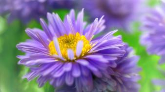 цветы, розовый цвет, октябрь, астра кустовая, астры, красота, макро, многолетники, флора, растения, дача, осень, природа