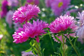 цветы, флора, розовый цвет, растения, природа, осень, однолетники, красота, дача, астры
