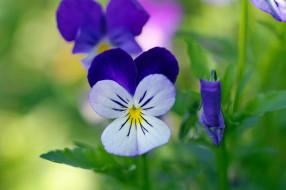 цветы, цветок, флора, фиалки, сентябрь, красота, двулетники, макро, осень, многолетники, растения, природа, дача, виола, анютины глазки
