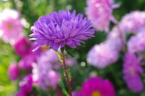 флора, сиреневый цвет, цветы, сентябрь, природа, осень, растения, однолетники, красота, дача, астры