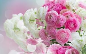 розовые цветы, white, beautiful, ranunculus, flowers, pink, лютики