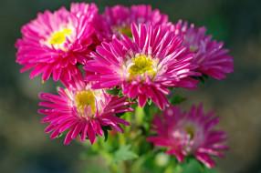 однолетники, красота, дача, астры, цветы, флора, розовый цвет, растения, природа, осень