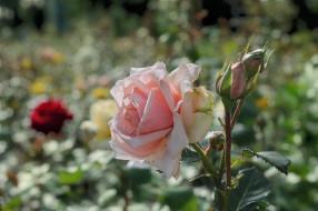 цветы, розы, лето, клумба