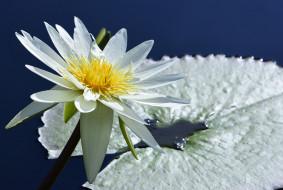 цветы, лилии водяные,  нимфеи,  кувшинки, природа, вода, цветение, листья, кувшинка