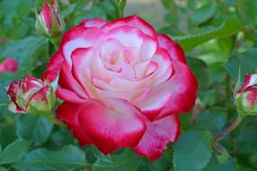цветы, розы, роза, пестрая, макро, бутон