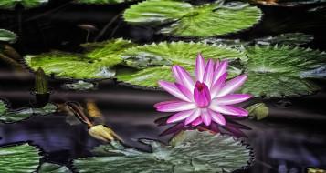цветы, лилии водяные,  нимфеи,  кувшинки, кувшинка, цветение, листья, вода