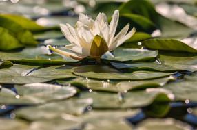 цветы, лилии водяные,  нимфеи,  кувшинки, кувшинка, листья, цветение, вода, природа