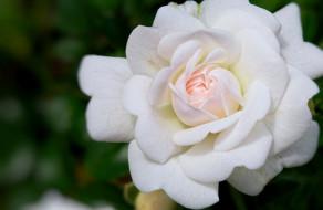 цветы, розы, роза, белая, макро