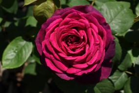 цветы, розы, роза, бутон, лепестки, листья, цветение, rose, bud, petals, leaves, blossoms
