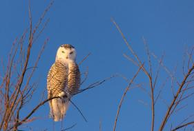 полярная сова, ветки, небо, сова, птица