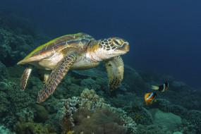 животные, Черепахи, морское, дно, море, черепаха