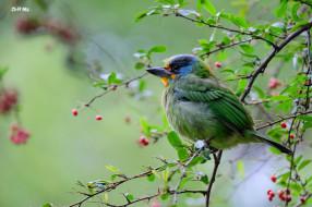 животные, птицы, ветки, птица, дерево, ягоды, природа
