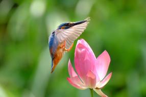 животные, зимородки, зимородок, птица, полет, цветок, лотос, природа