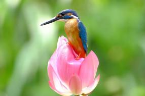 животные, зимородки, зимородок, птица, цветок, лотос, природа