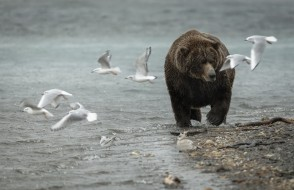 чайки, медведь, природа
