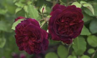 цветы, розы, роза, бутон, алая, лепестки, цветение