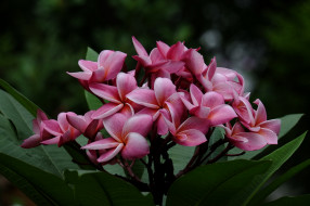 ветка, Plumeria petals, лепестки, листья, leaves, branch, flowering, цветение, Плюмерия