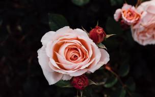 цветы, розы, бутоны, кремовые, куст, роз, лепестки