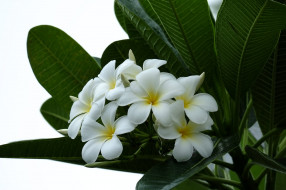 branch, листья, leaves, flowering, ветка, Plumeria petals, лепестки, цветение, Плюмерия