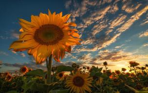 цветы, подсолнухи, флора, Закат, поле