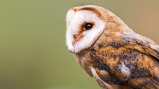 barn owl, амбарная сова, птицы, сипуха