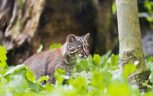 кошка темминка, животные, дикие кошки, профиль