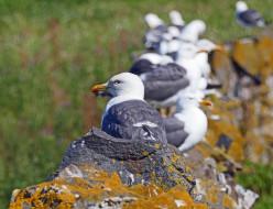 животные, Чайки,  бакланы,  крачки, чайки, птицы, много, камень, природа