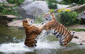 брызги, хищники, парочка, драка, борьба, игра, кошки, зоопарк