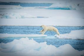 хищник, полярный, снег, льдины, прыжок