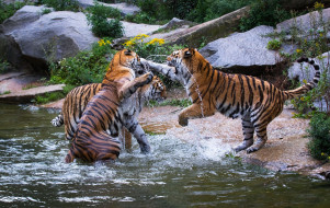 трио, драка, игра, брызги, водоём, зоопарк, хищники