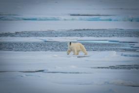 холод, полярный, льдины, хищник, снег, вода, белый